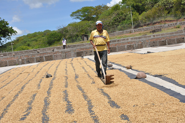 Image result for drying coffee beans